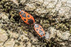 Shield Bug (Graphosoma Lineatum) Mating Stock Photos