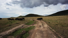 Wild buffalo roaming in Kenya - stock footage