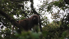 A baboon in a tree Stock Footage