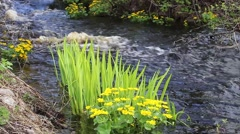 Marsh marigolds, babbling creek Stock Footage