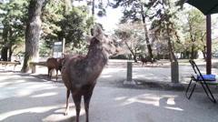 Deer in Nara Park Stock Footage