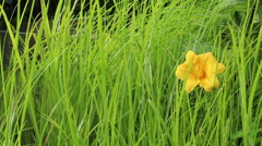 Yellow flower in grass - stock footage
