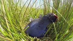 Swamp hen feeding chick in nest. Stock Footage