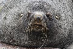 Adult bull Antarctic fur seal (Arctocephalus gazella), head detail, Stromness Stock Photos