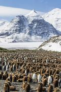 Adult and juvenile king penguins (Aptenodytes patagonicus), at breeding colony Stock Photos
