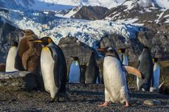 King penguins (Aptenodytes patagonicus), with gentoo penguin (Pygoscelis papua), Stock Photos