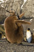 King penguin chick (Aptenodytes patagonicus), ecstatic display in Gold Harbor, Stock Photos
