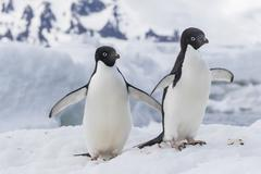 Adelie penguin (Pygoscelis adeliae) pair, at Brown Bluff, Antarctica, Southern - stock photo
