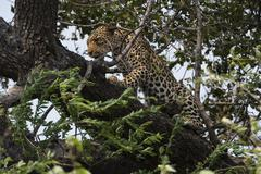 Leopard (Panthera pardus), Chobe National Park, Botswana, Africa Kuvituskuvat