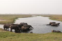 African elephants (Loxodonta africana), Chobe National Park, Botswana, Africa - stock photo
