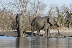 African elephants (Loxodonta africana), Khwai Concession, Okavango Delta, - stock photo
