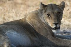 Lioness (Panthera leo), Khwai Concession, Okavango Delta, Botswana, Africa Stock Photos