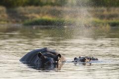 Hippopotamus (Hippopotamus amphibius), Khwai Concession, Okavango Delta, - stock photo