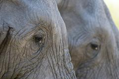 Close-up of two African elephants (Loxodonta africana), Khwai Concession, Stock Photos