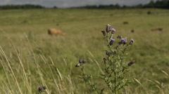 Cattle graze in hayfield Stock Footage