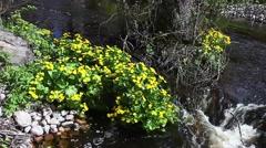 Marsh marigolds, babbling creek Stock Footage