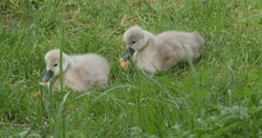 Stock Video Footage of cygnets, or baby swans eating