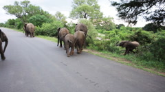 elephant frightened by camera man - stock footage