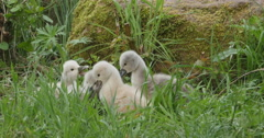 cygnets, or baby swans - stock footage