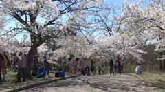 Cherry Blossoms or Sakura Flowers hit peak bloom at High Park, Toronto, May 2015 Stock Footage