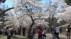 Cherry Blossoms or Sakura Flowers hit peak bloom at High Park, Toronto, May 2015 Stock Footage