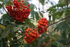 Stock Photo of Grapes rowan on the tree