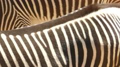 Zebra stripes Stock Footage