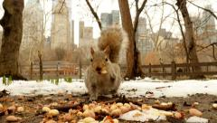 Squirrel eating nuts in outdoor park Stock Footage