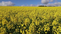 Canola field in the wind with blue sky Stock Footage