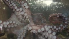 Giant Pacific Octopus Stock Footage