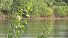 river, young leaves of poplar - stock footage