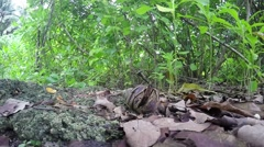 Large hermit crab in coastal jungle Stock Footage