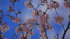 Beautiful blossoming branch of cherry blossoms on the background of blue sky Stock Footage