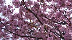 Flowering branch of Sakura Stock Footage