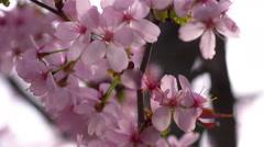 Flowering branch of Sakura,close up Stock Footage