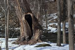 Scream tree by the river - stock photo