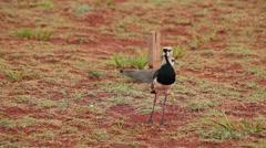 Southern lapwing (Quero Quero in portuguese). Brazilian birds. Cerrado biome. Stock Footage