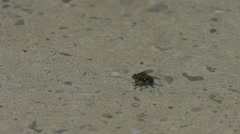 Black fly sits on a rock inches and flies slow motion on the mottled stone sunny Stock Footage
