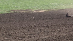 Maize planting tractor passes Stock Footage
