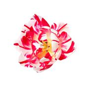 Dual colored red-white tulip on a white background Stock Photos