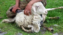 Sheep shearing Stock Footage