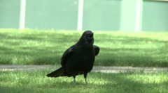 A cawing crow Stock Footage