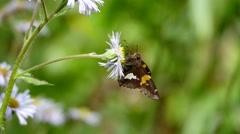 Moth feeding on flower nectar. Stock Footage