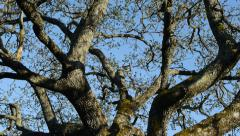 Oak tree branches and twigs with sprouting leaves - stock footage