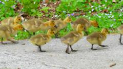 4K goslings and geese parents 1080190 B - stock footage