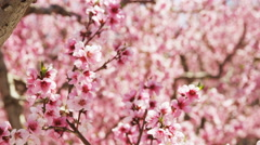 Slow motion panning shot of pink blossoms Stock Footage