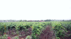 Pan shot of the Sula Vineyards, Nashik, Maharashtra, India Stock Footage