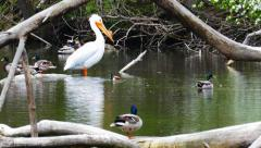 Big White Pelican Feels Accepted Among Mallard Ducks. Stock Footage