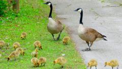 Cute Baby Geese, Goslings, Birds, Chicks, Walking, Grazing With Siblings Stock Footage