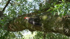 Pileated woodpecker (red tufted head) vigorously pecking at a tree limb Stock Footage